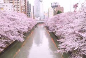 目黒側沿いの桜